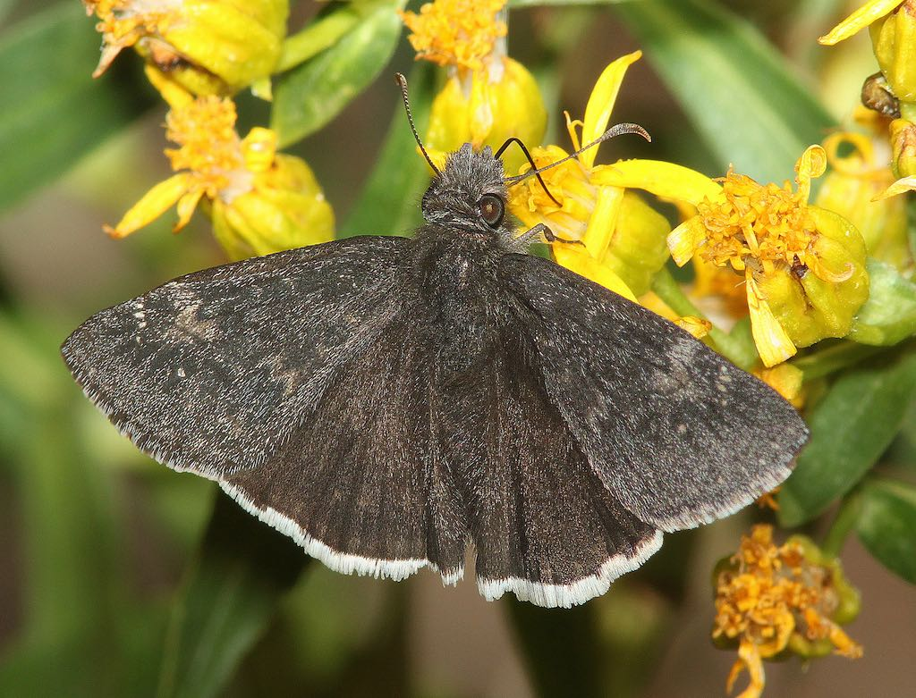 Funereal Duskywing Butterfly