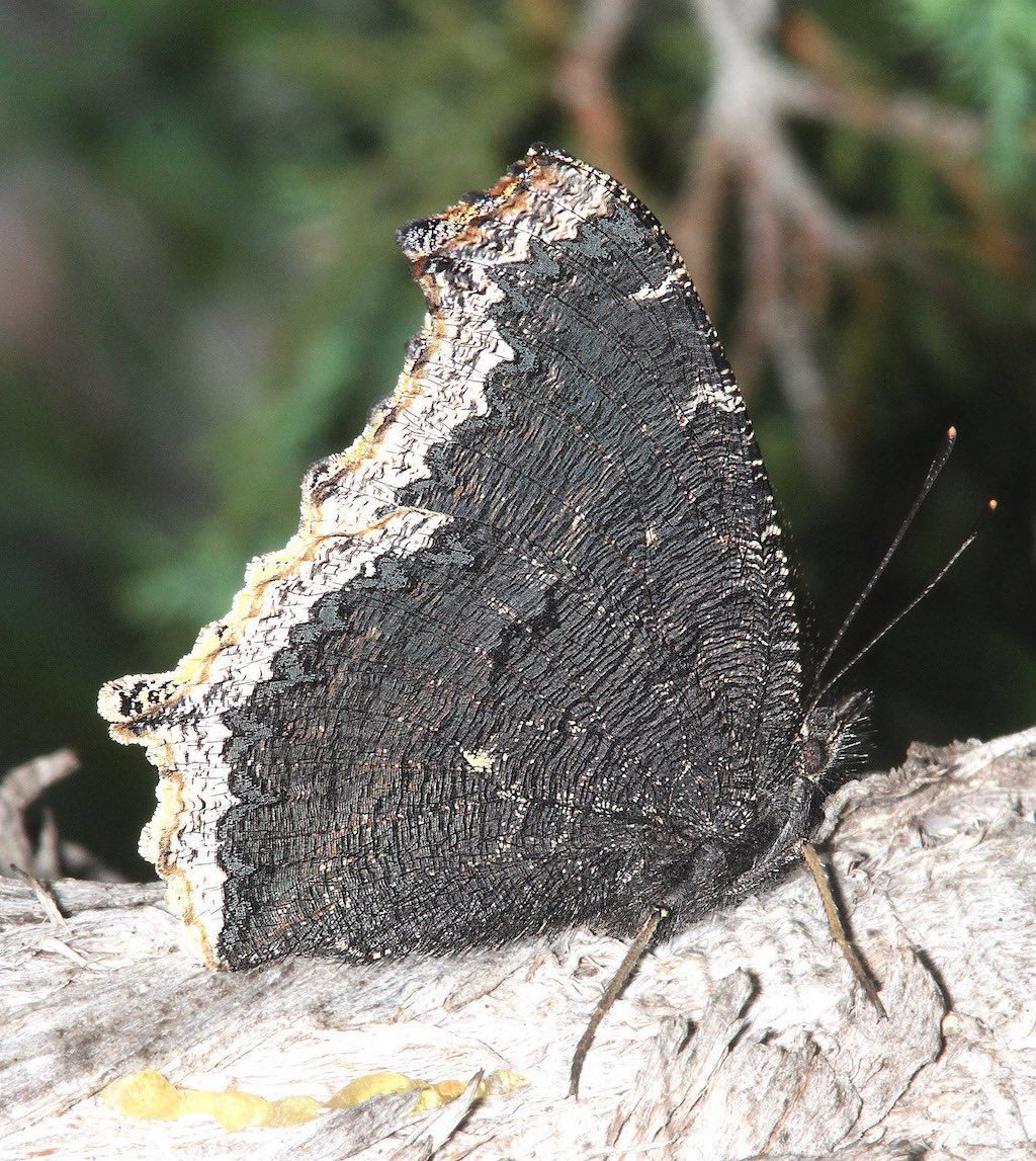 Mourning Cloak Butterfly with wings closed