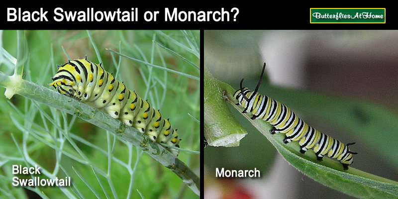 Comparison between the Monarch caterpillar and the Black Swallowtail caterpillar