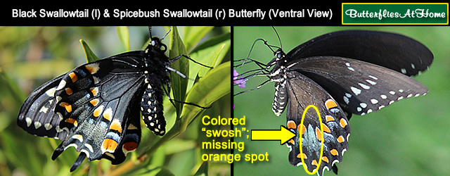 click for identification tips about black-colored swallowtail butterflies