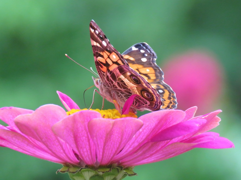 American Lady on a pink Zinnia