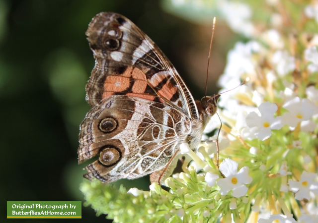American Lady Butterfly Size Characteristics Facts And