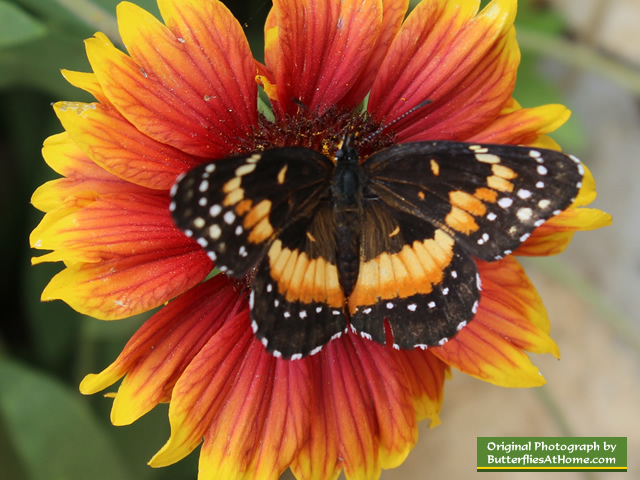 Bordered Patch Butterfly on orange flower