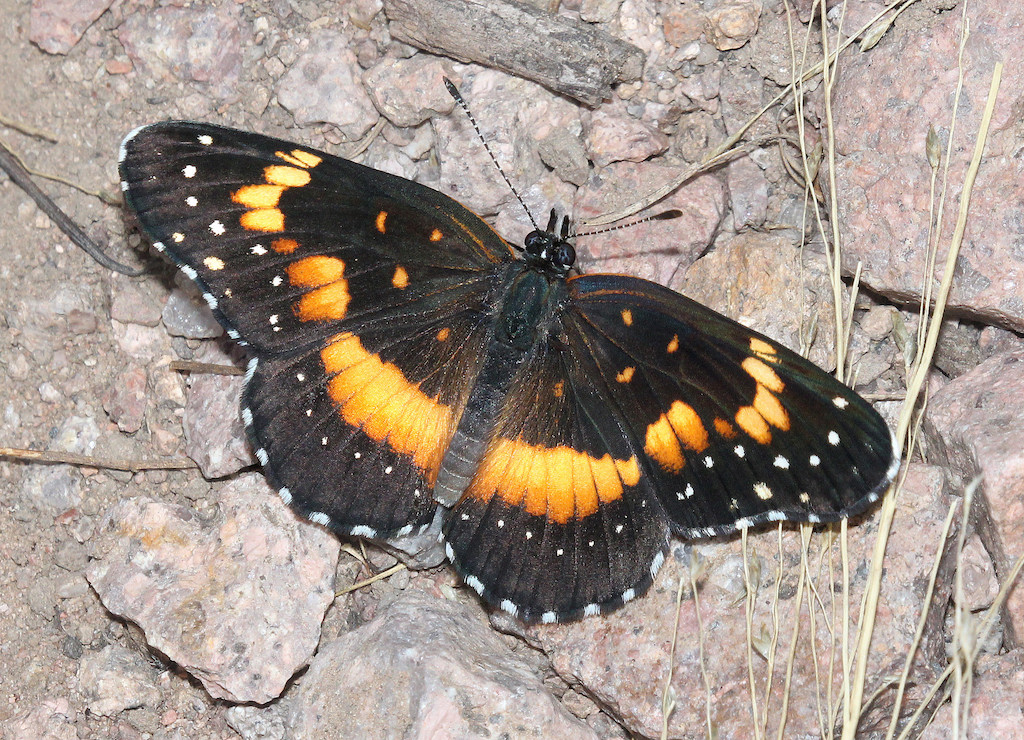 Bordered Patch Butterfly on rocks