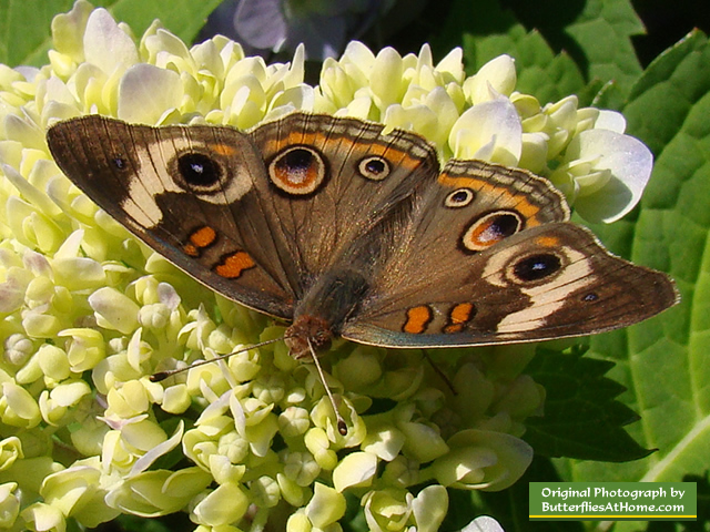 Buckeye Butterfly on Hydrangea