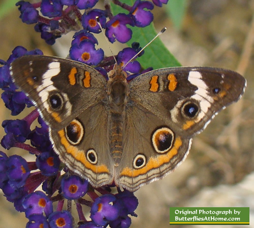 Buckeye Butterfly on Butterfly Bush