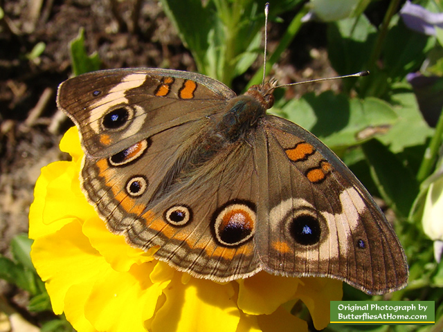 Buckeye Butterfly on yellow Zinnia