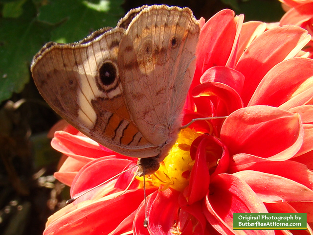 Buckeye Butterfly ... wings closed