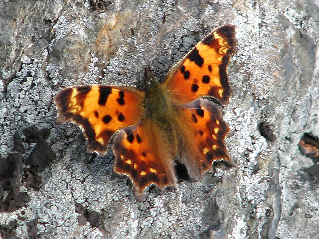 Eastern Comma Butterfly ... wings open