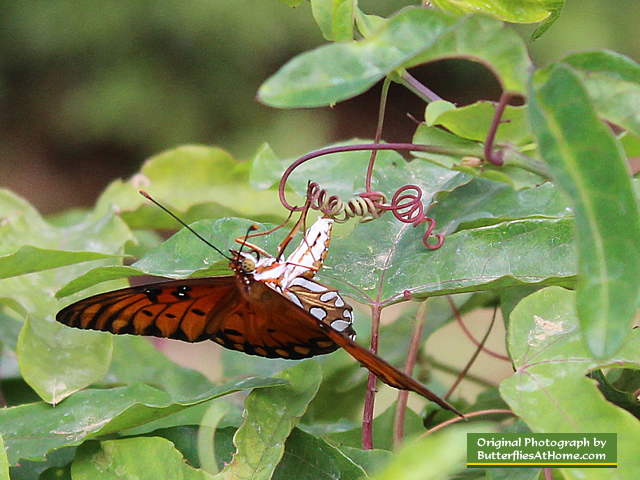 Female Gulf Fritillary Butterfly on Passion Vine laying eggs
