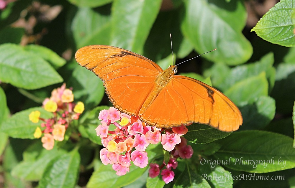 Julia Heliconian Butterfly on Lantana in East Texas in 2016