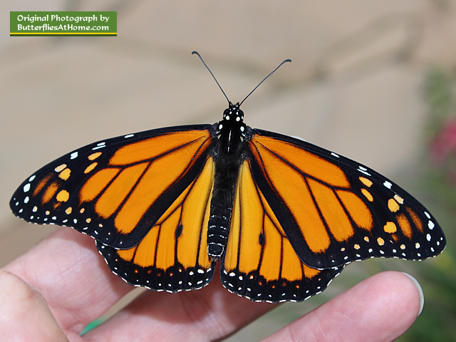 A perfect new male Monarch Butterfly ready to fly south!