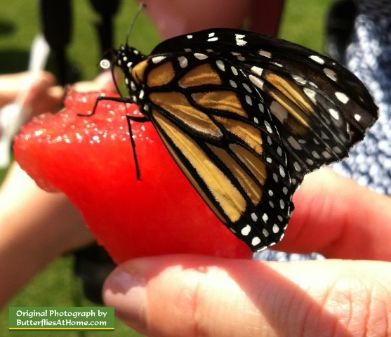 Monarch Butterfly release in East Texas