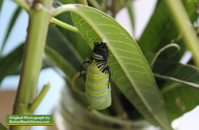 Monarch caterpillar entering its chrysalis ... it's a quick transformation!