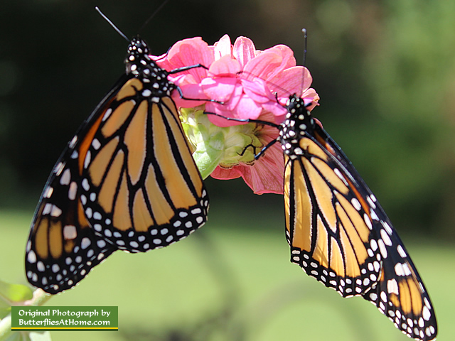 Male (l) and female (r) Monarch Butterfllies on a pink daisy