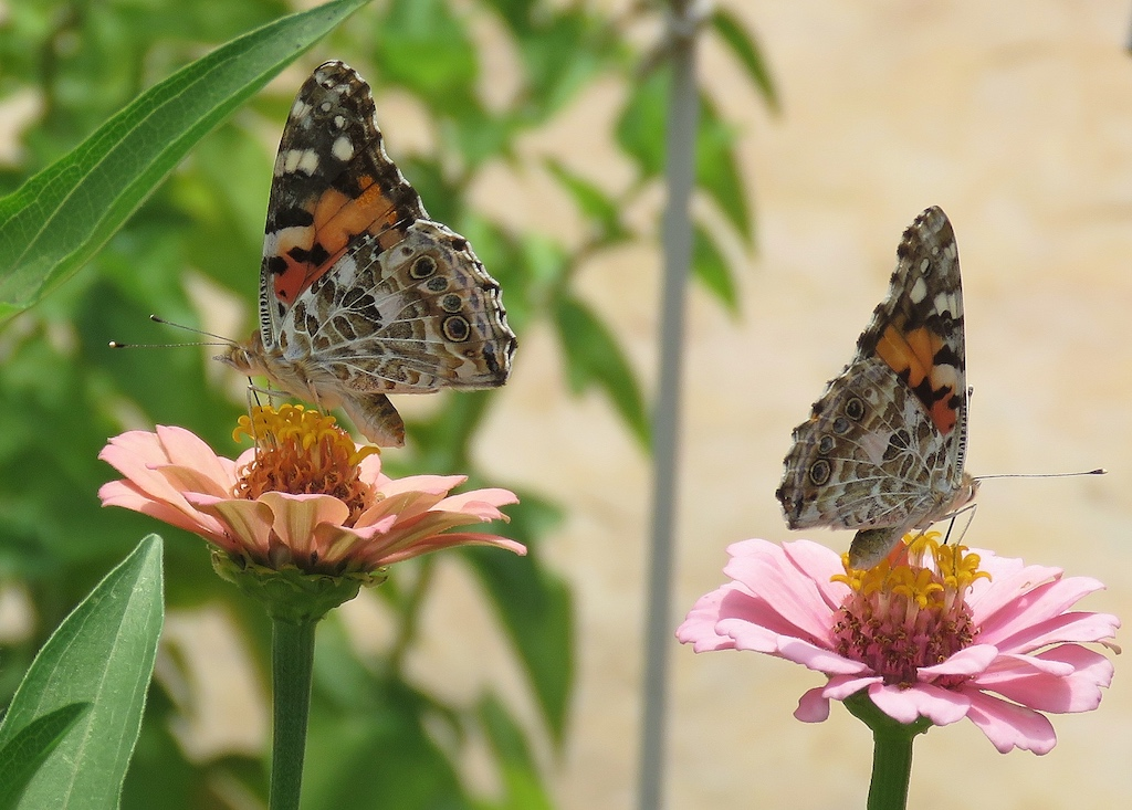 Pair of Painted Lady Butterflies on Zinnias