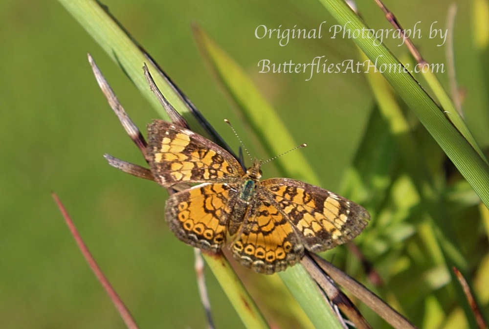 Pearl Crescent Butterfly seen in East Texas
