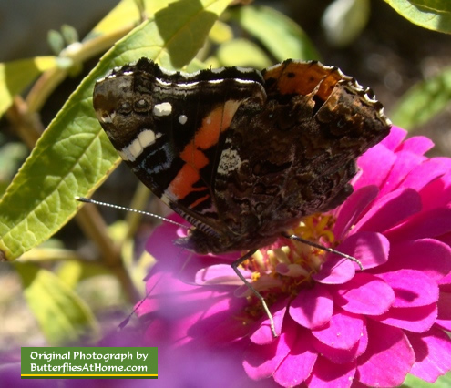Red Admiral Butterfly in Texas (wings closed)