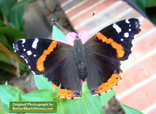 Red Admiral Butterfly (wings open)