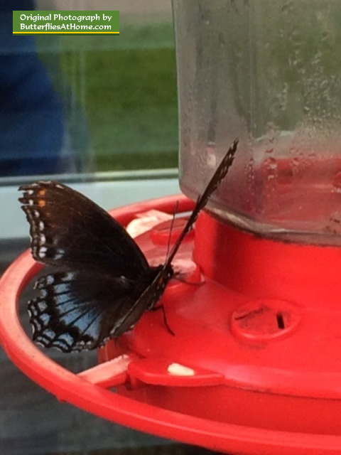 Red-Spotted Purple Butterfly ... a regular visitor to our hummingbird feeder!