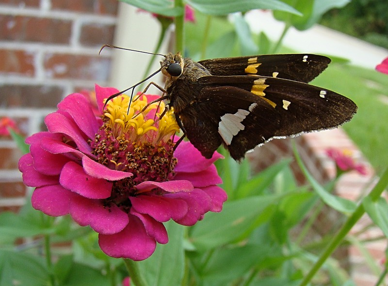 Silver Spotted Skipper on Pink Zinnia