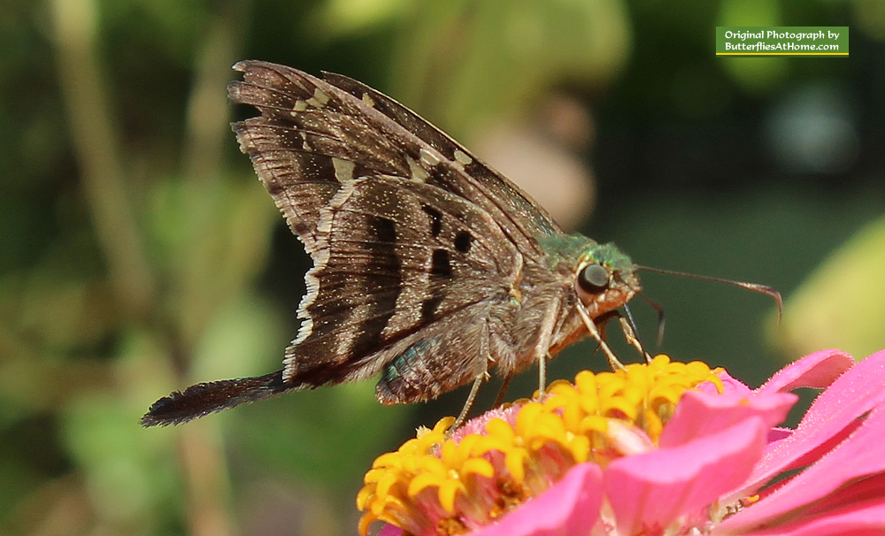 Long-Tailed Skipper on Zinnias