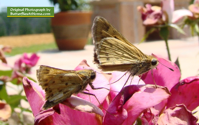 Pair of Skipper Butterflies on roses