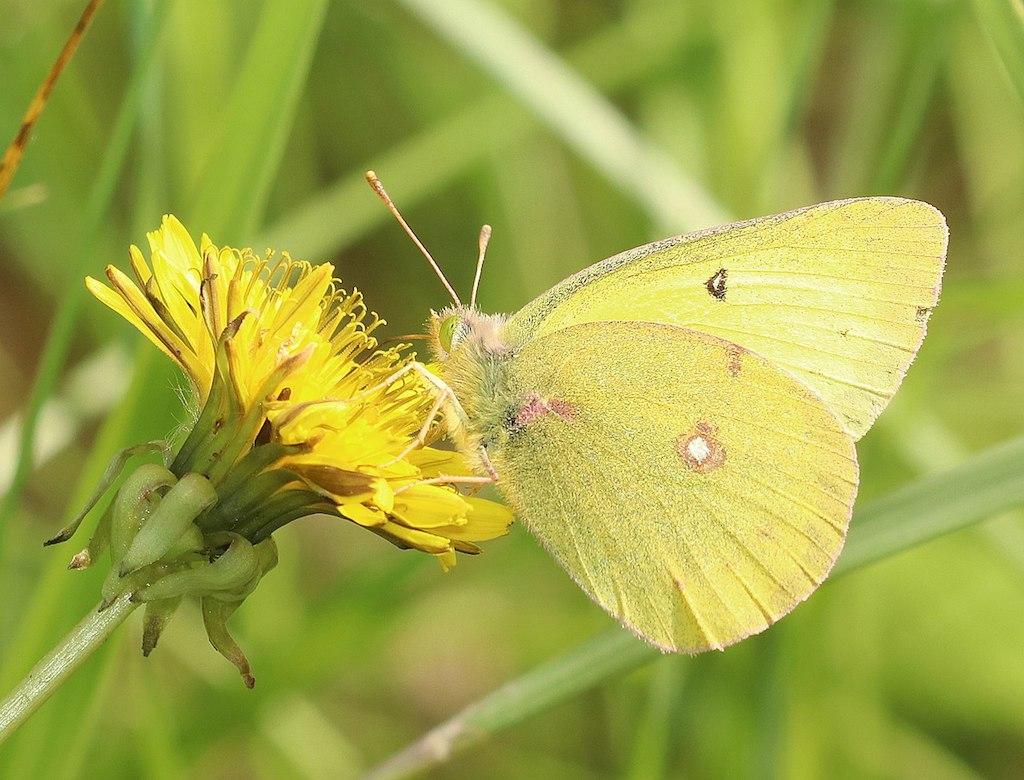 Clouded Sulphur Butterfly - Goldilocks Finds Manhattan |Clouded Sulphur Butterfly