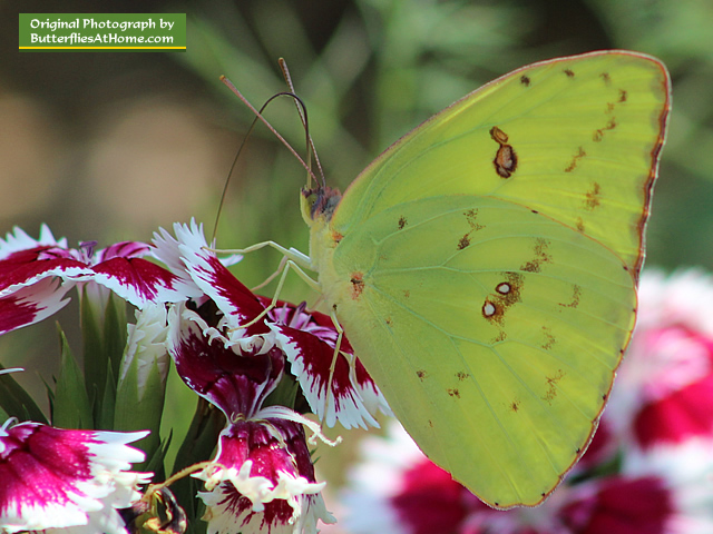 Cloudless Sulphur Butterfly feeding on red and white Dianthus (ventral)