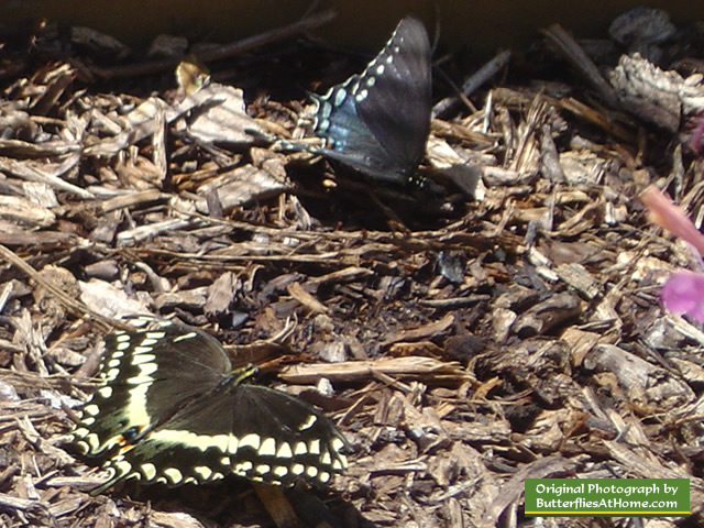 Palamedes Swallowtail Butterfly (lower left) and Spicebush Swallowtail (upper right)