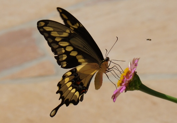 Giant Swallowtail doing a balancing act on a pink zinnia