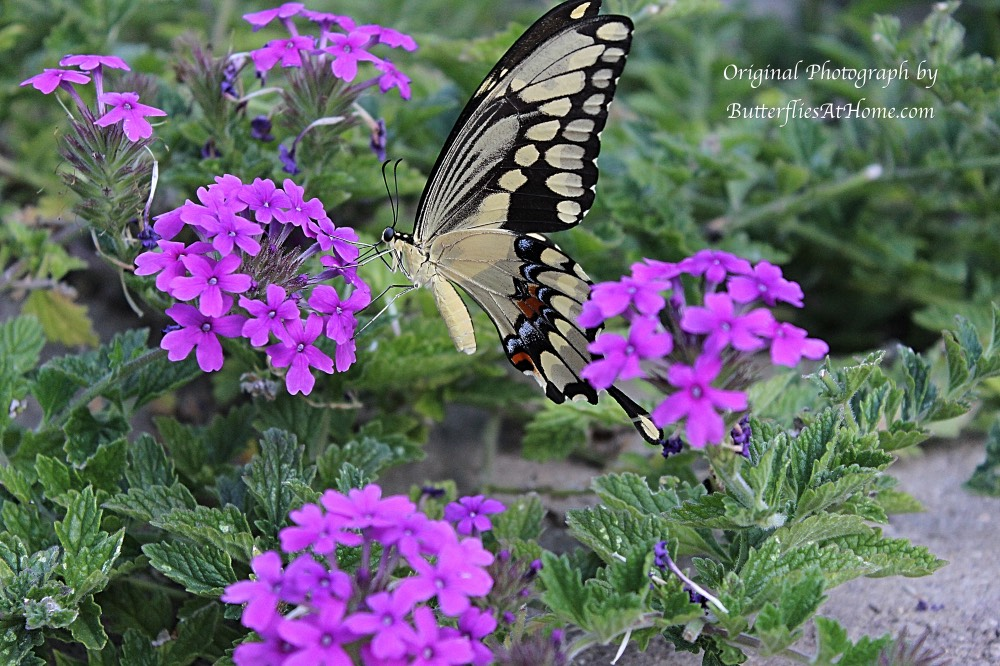 Giant Swallowtail Butterfly (ventral view) on Purple Verbena