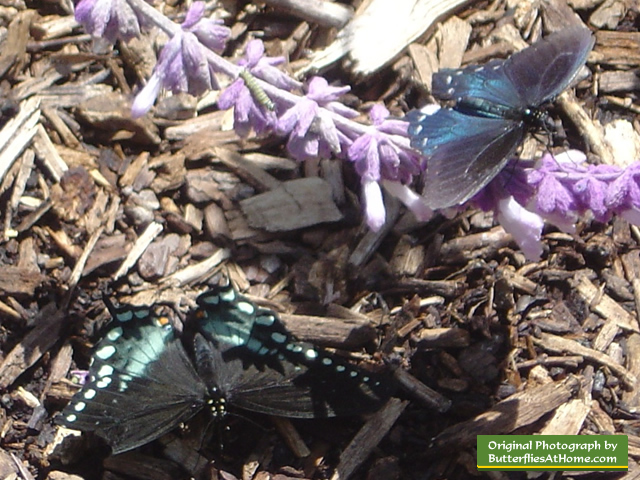 Spicebush Swallowtail Butterfly (lower left) and Pipevine Swallowtail (upper right)