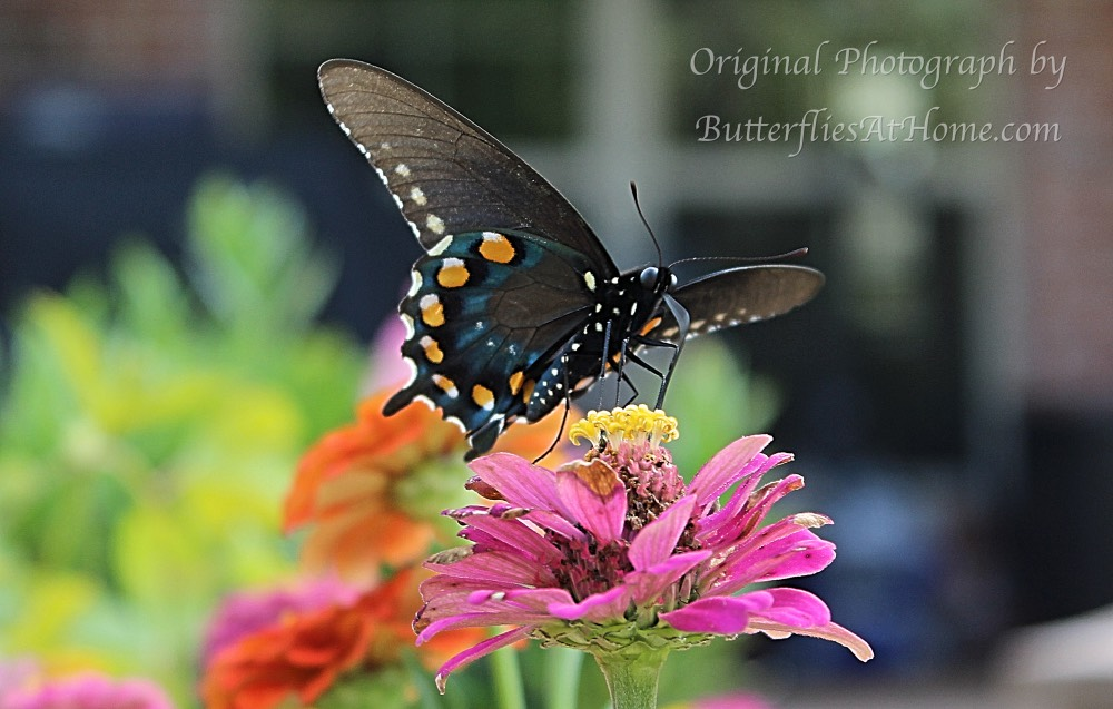Pipevine Swallowtail Butterfly on Zinnias