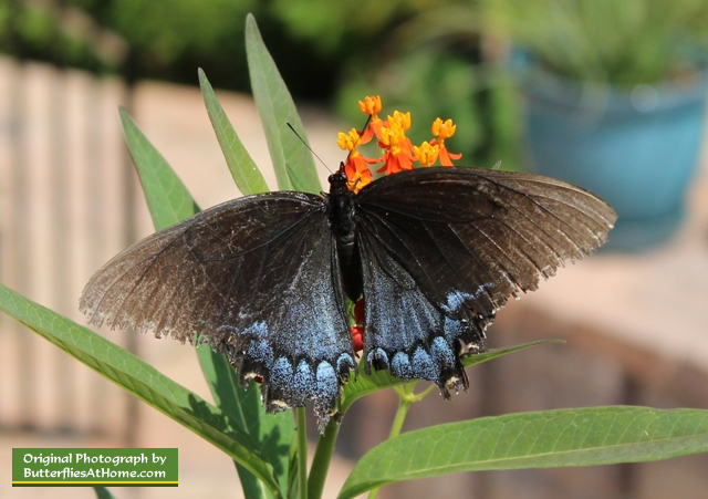 Female Tiger Swallowtail Butterfly, dark dimorphic color form