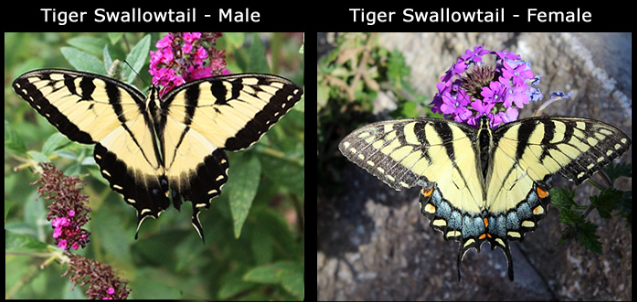 Comparison of the male and female Tiger Swallowtail Butterfly