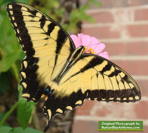 Tiger Swallowtail Butterfly missing one tail