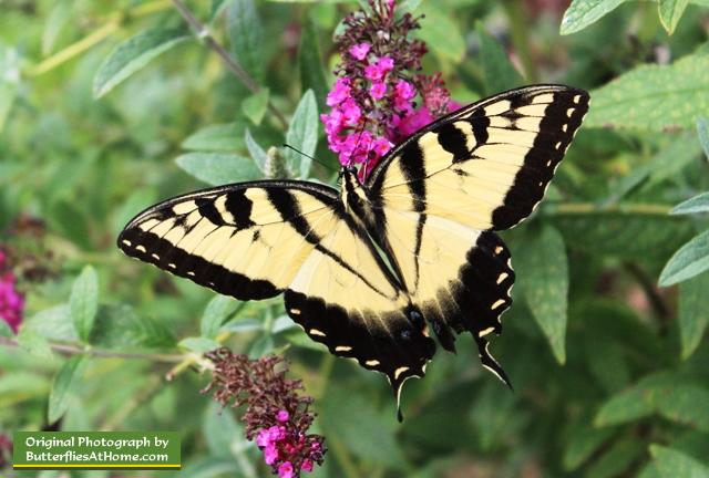 Muchos árboles son plantas de acogida para las mariposas (y polillas) de <br> Lista De Deseo Disfruta Del Verano! Datos divertidos de la mariposa
