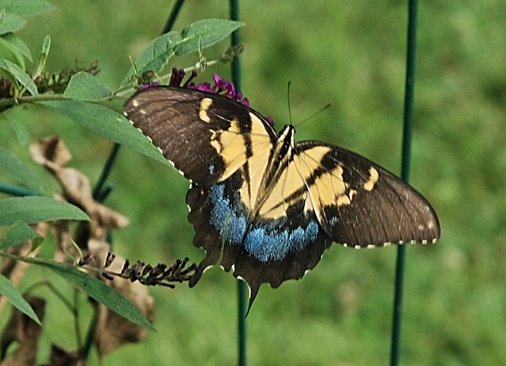 Morphed Tiger Swallowtail