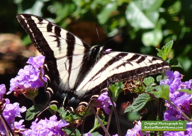 Western Tiger Swallowtail Butterfly, along the California coast