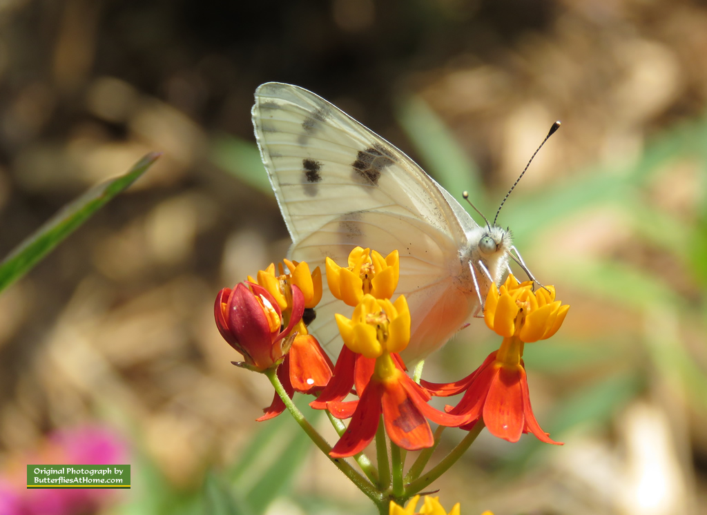 Checkered White Butterfly enjoying Milkweed blooms