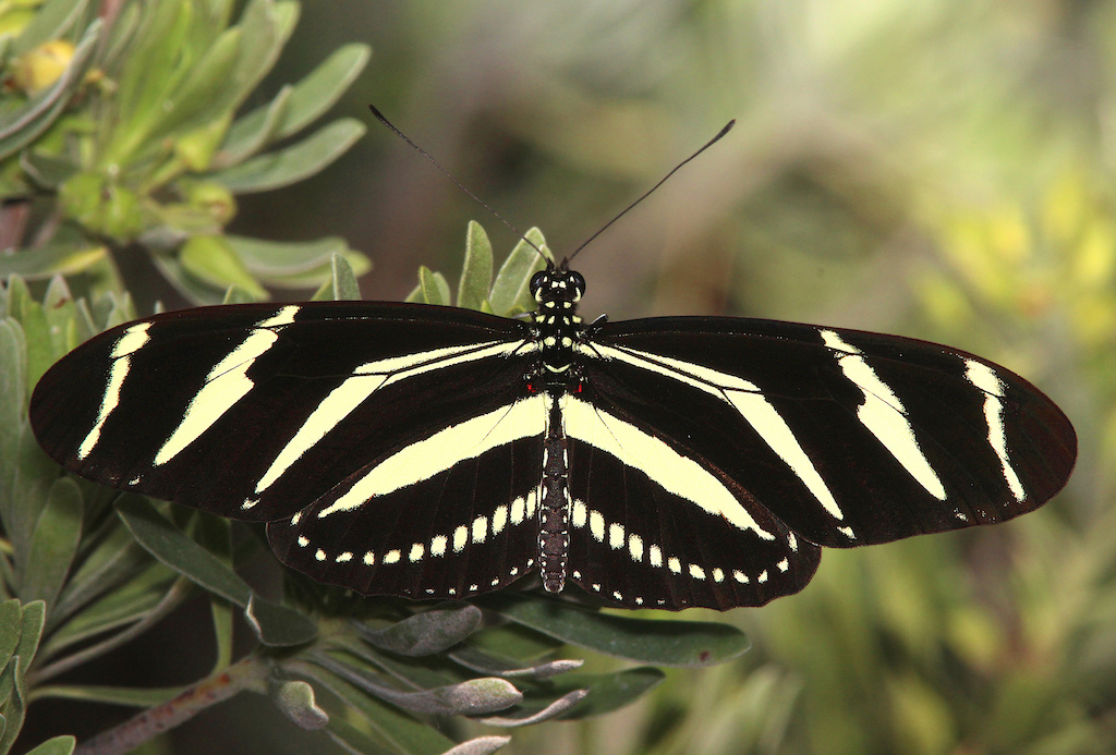 Zebra Heliconian Butterfly with wings open