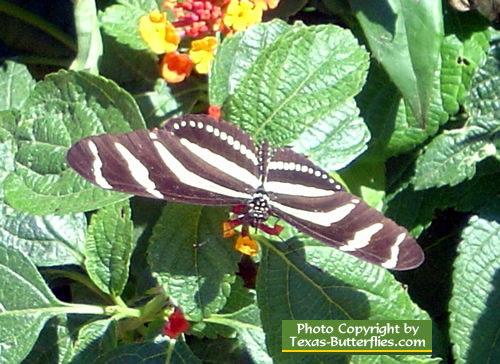 Zebra Heliconian Butterfly in East Texas