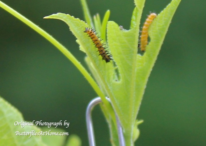 Gulf Fritillary caterpillars dining on a young Passion Vine