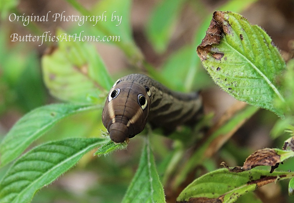Tersa Sphinx Caterpillar