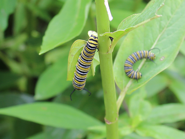 Monarch caterpillars at the Charlotte Rhoades Park Butterfly Garden