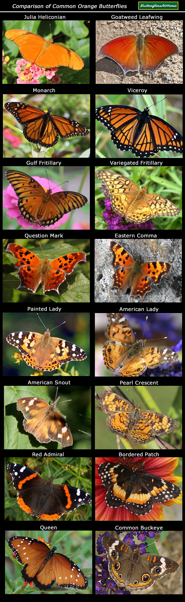 Identification chart comparing common orange colored butterflies