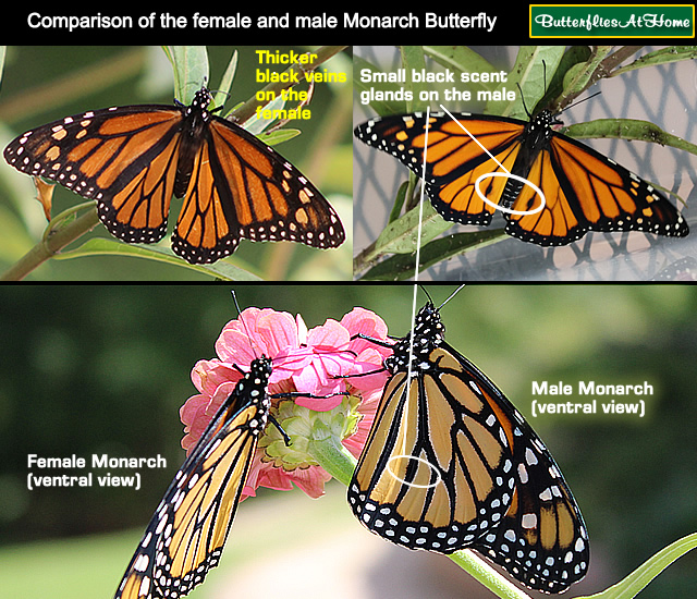 Identification guide to the female and male Monarch Butterfly, showing differences between the female and male Monarch