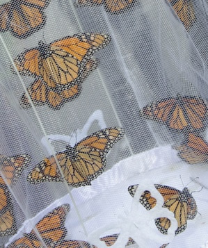 Monarch butterflies ready for a mass release