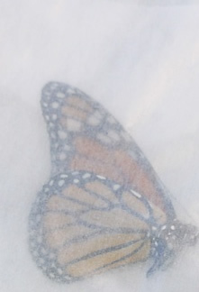 An individual Monarch safely stored in an envelope prior to release